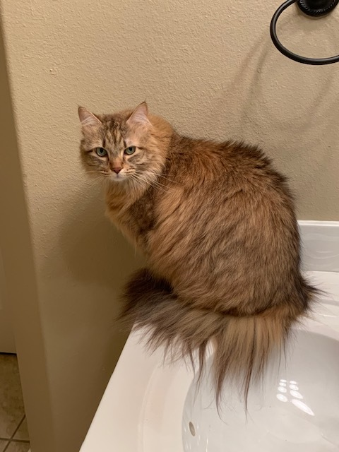 JOSIE, an adopted Maine Coon in Tyler, TX