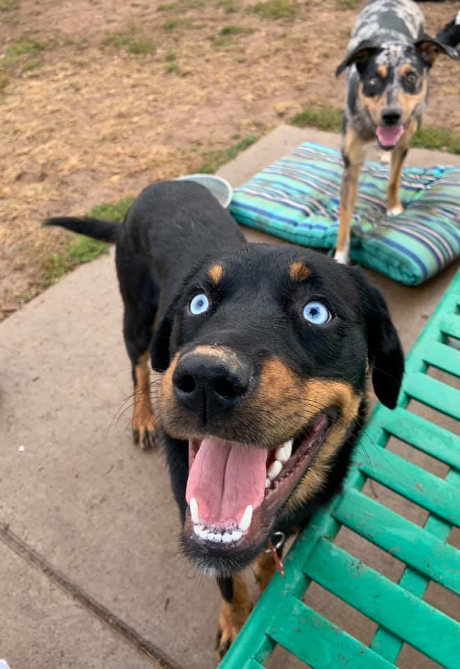 Arizona, an adopted Rottweiler Mix in Springfield, MO