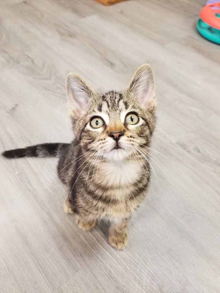 Jimmy Neutron, an adopted Domestic Short Hair Mix in Springfield, MO