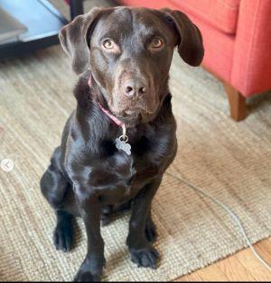 Echo Labrador Retriever Dog