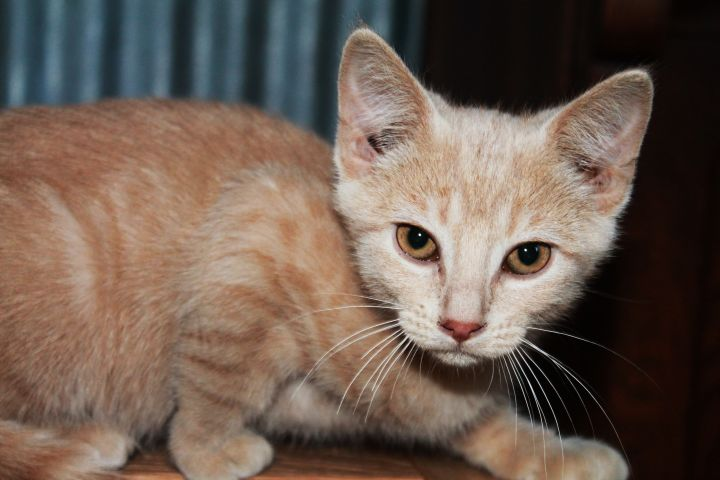 Dunkin, an adoptable Domestic Short Hair Mix in Manhattan, KS