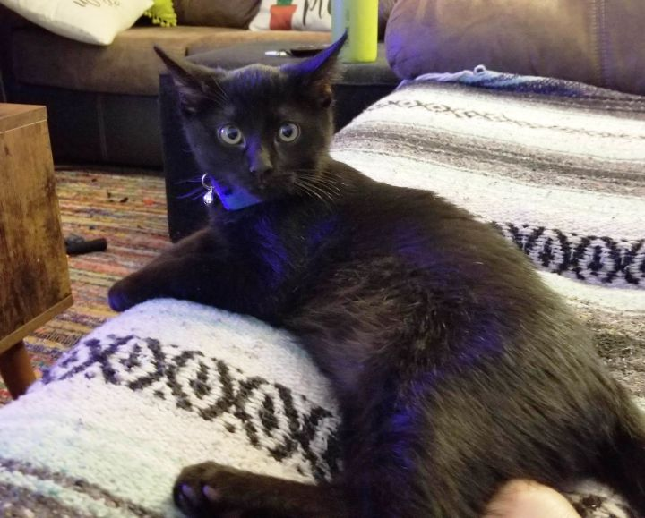 Popcorn, an adopted Domestic Short Hair in Phoenix, AZ