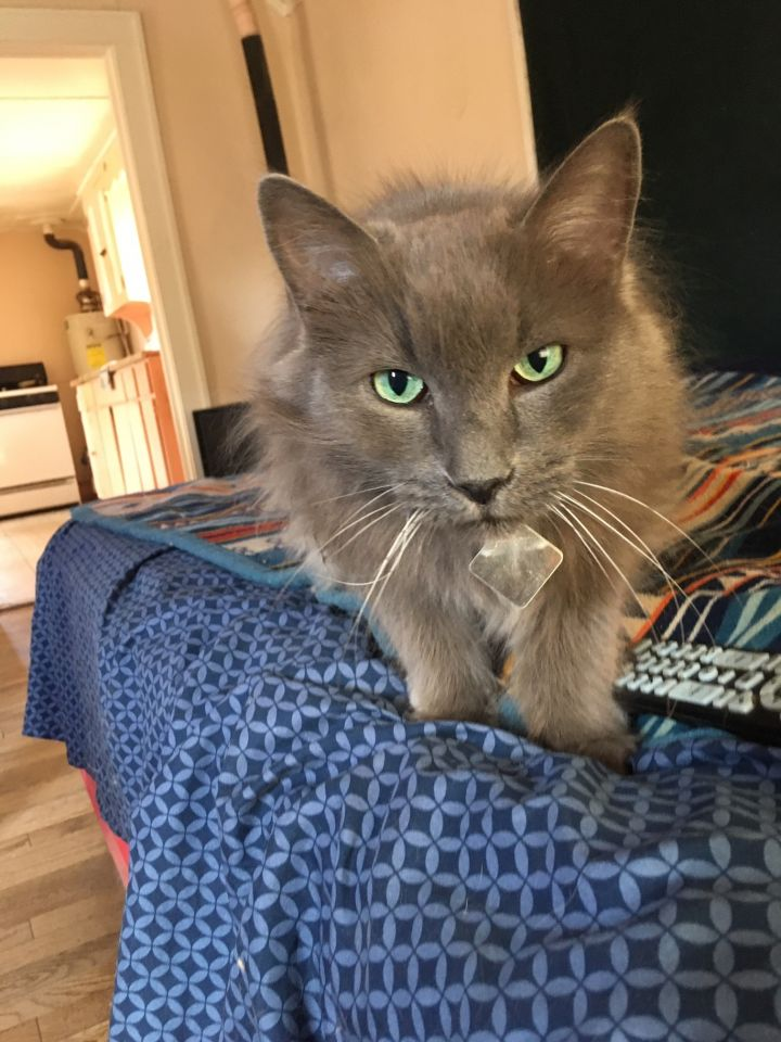 Smokey, an adoptable Domestic Long Hair in Williamsburg, NM