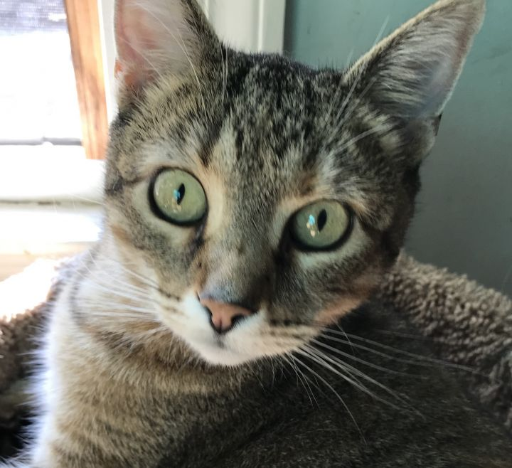 Tabby Girl, an adopted Tabby in Philadelphia, PA