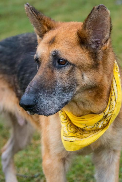 Reedy, an adoptable Shepherd Mix in Alpharetta, GA