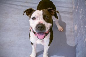 Birthdate 11102015 Breed One of a kind This nifty buckaroo is a lover of long walks and playing