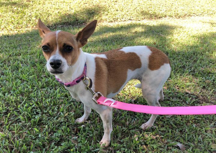Peach, an adoptable Chihuahua Mix in Carencro, LA