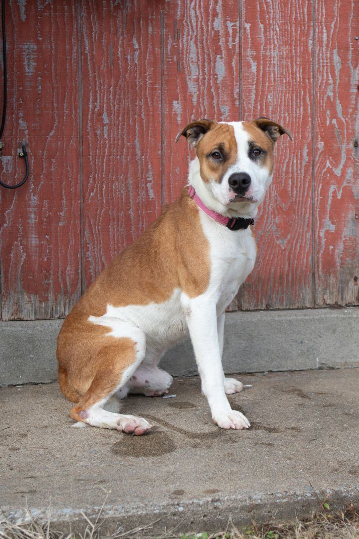 KENT, an adoptable Mixed Breed in Cape Girardeau, MO