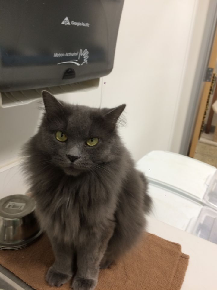 India, an adopted Domestic Long Hair in Hendersonville, TN