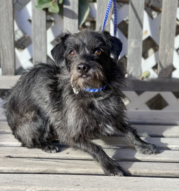 Chief, an adoptable Terrier Mix in Los Alamitos, CA
