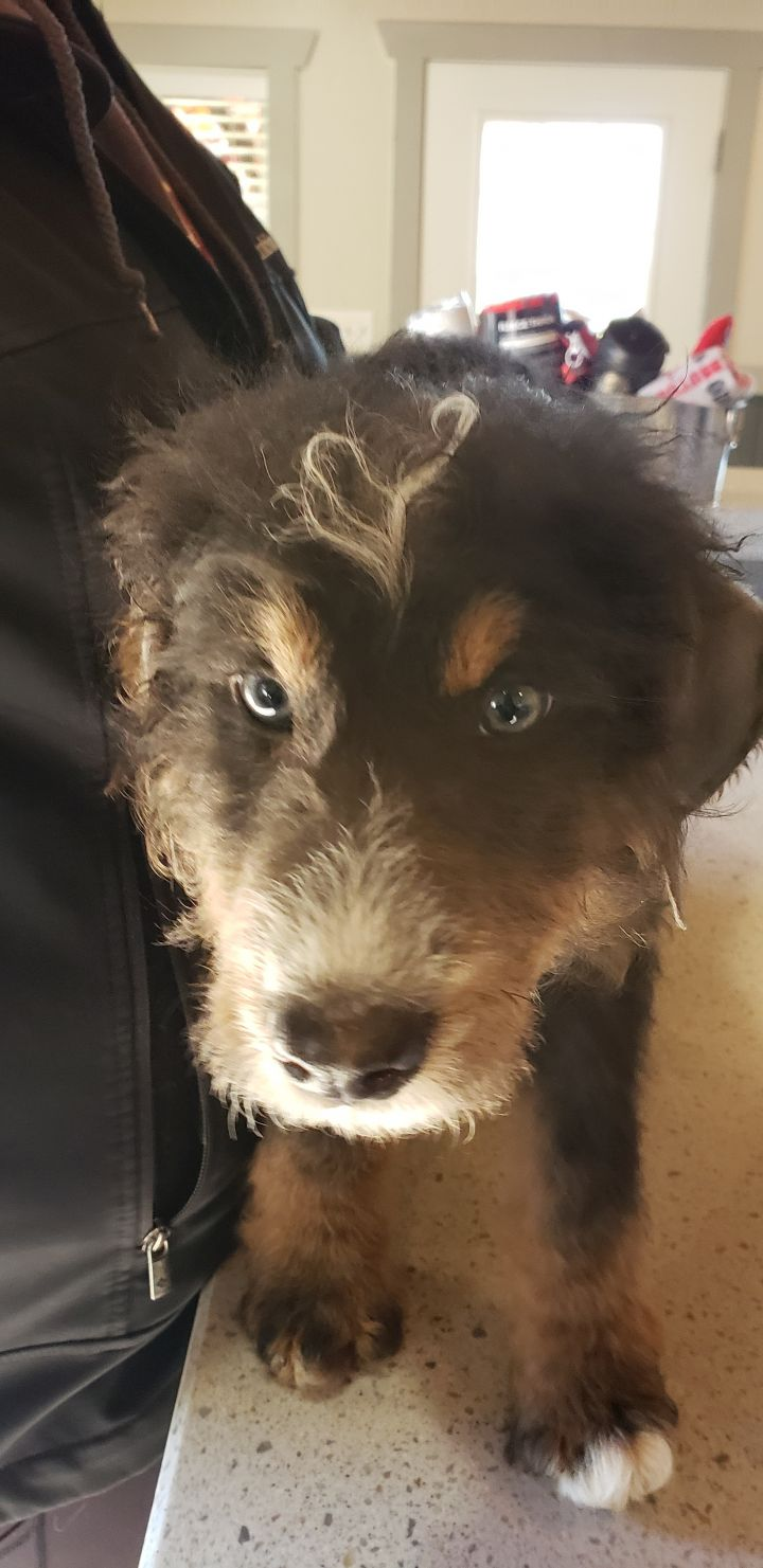 Marley, an adopted Bernese Mountain Dog & Bernedoodle Mix in South Charleston, OH