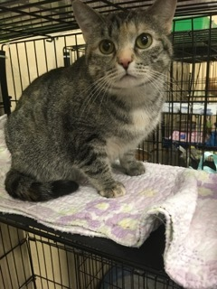 Alice, an adoptable Tabby in Louisville, KY