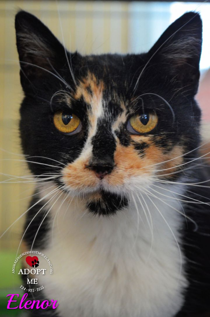 Eleanor, an adoptable Domestic Short Hair in Youngwood, PA_image-2