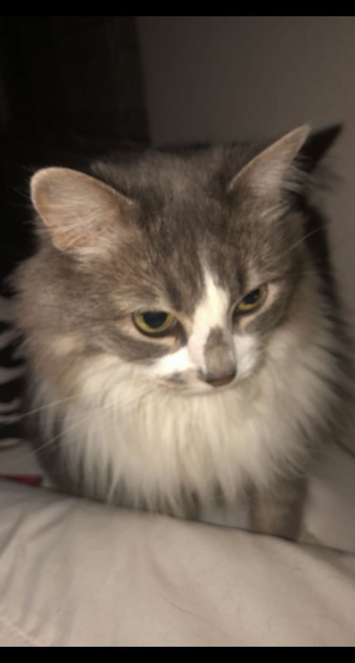 Princess, an adoptable Domestic Long Hair in Overland Park, KS
