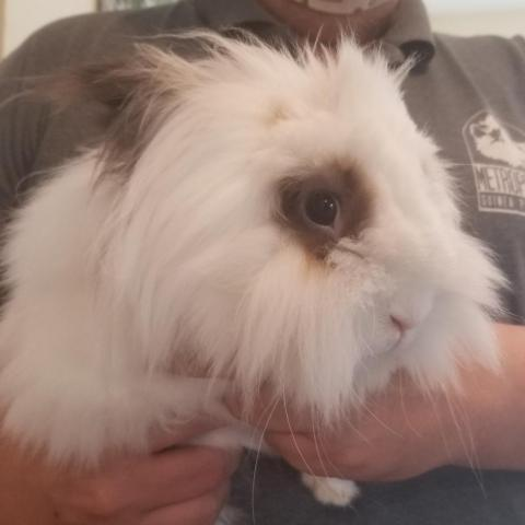 Garth, an adopted Lionhead in Rock Hall, MD