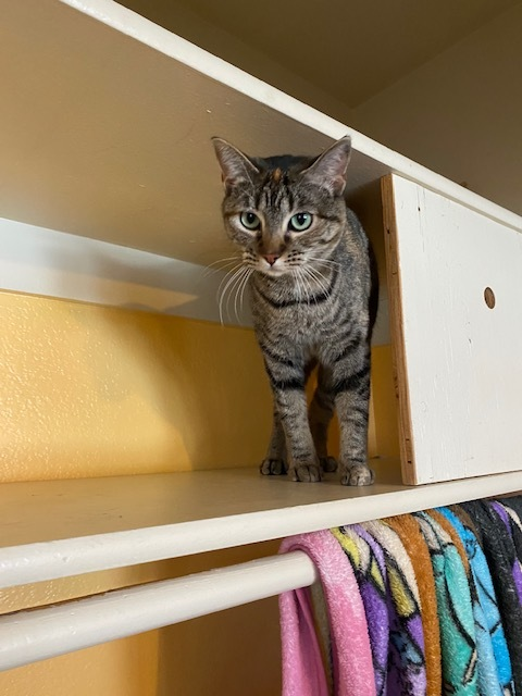 Fay, an adoptable Domestic Short Hair in Ridgway, CO