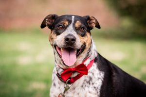 Jesse is a gorgeous three-year-old 45 lb Australian Cattle Dog mix who was found as a stray in rur