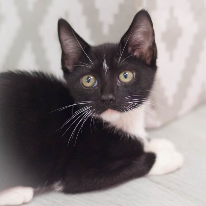 North, an adoptable Domestic Short Hair in Ponte Vedra, FL