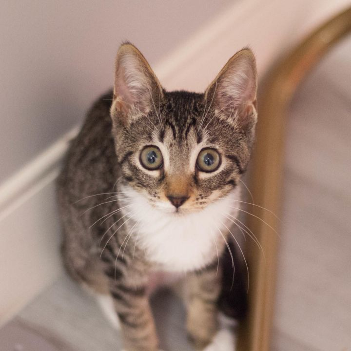 Norella, an adopted Domestic Short Hair in Ponte Vedra, FL_image-1
