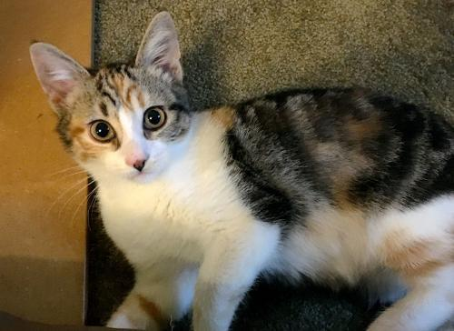 Dexi, an adoptable Calico & Tabby Mix in Springfield, OR
