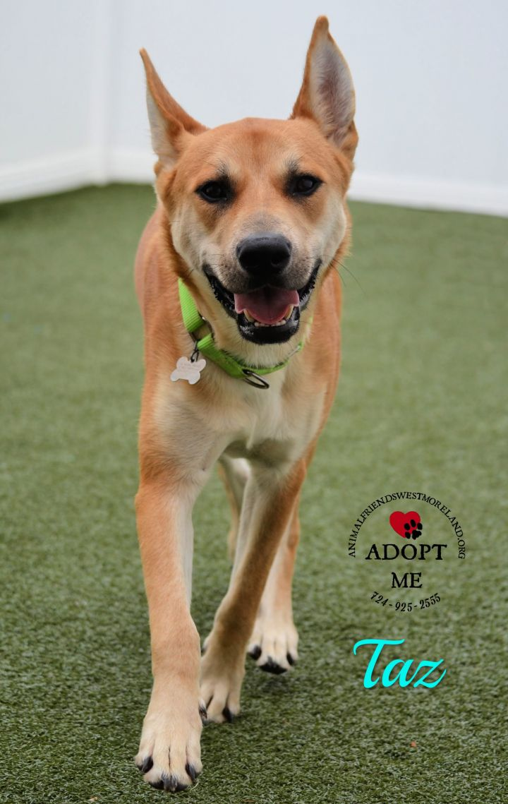 Taz, an adoptable Carolina Dog Mix in Youngwood, PA