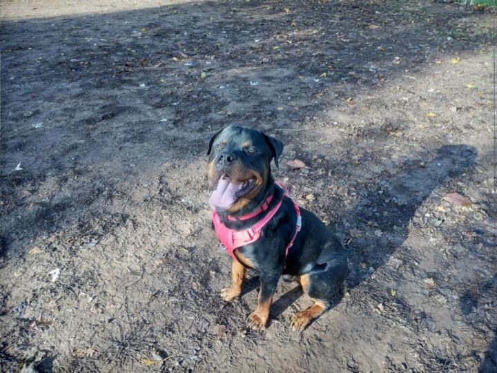Jasper, an adopted Rottweiler in Portland, OR