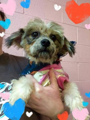 Laceys family was no longer able to care for her Shes an 8 2-12 yo Morkie She had lots of
