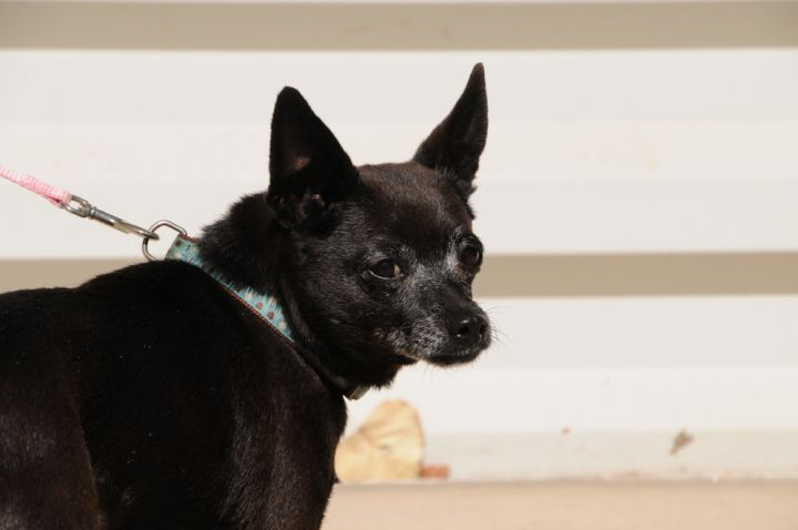 Butternut, an adoptable Terrier Mix in Jamestown, CA