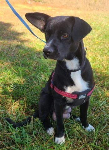 Cumulus, an adopted Labrador Retriever & Australian Shepherd Mix in Lenoir, NC
