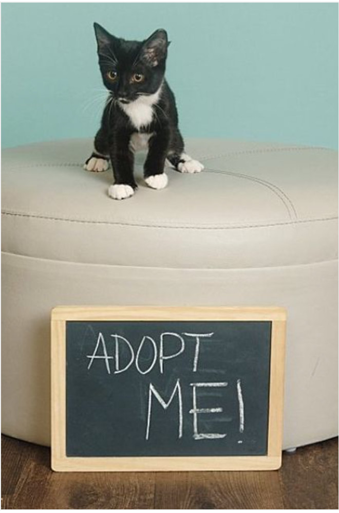 Kitty, an adoptable Tuxedo & Domestic Short Hair Mix in Miami, FL