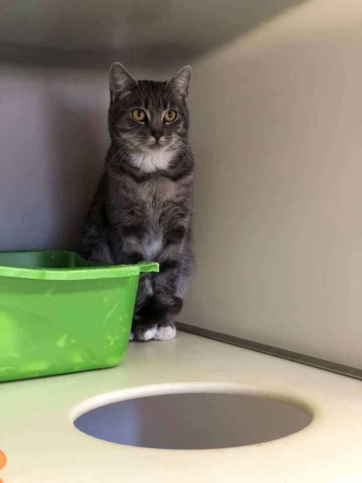 Mortisha, an adopted Domestic Short Hair in The Dalles, OR