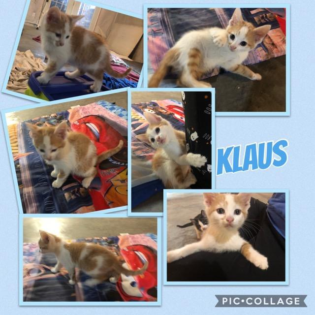 Klaus and Harry, an adoptable Domestic Short Hair in Louisville, KY