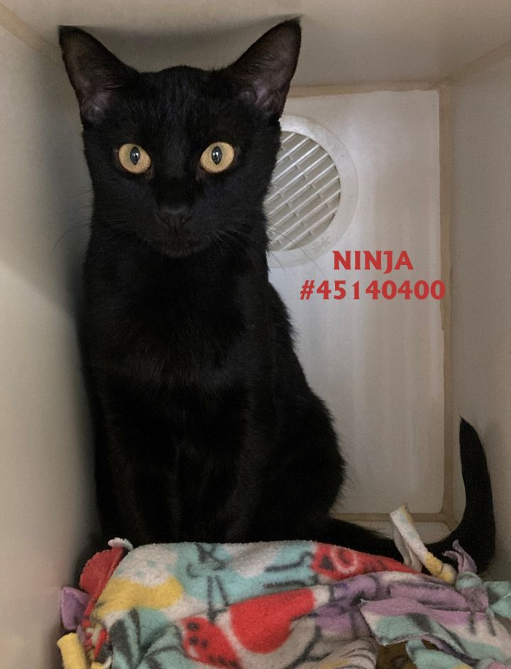 Ninja, an adoptable Domestic Short Hair in Wilkes Barre, PA_image-1