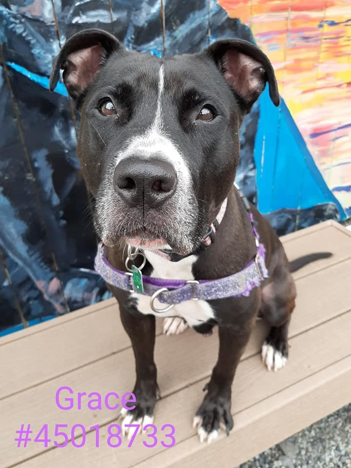 Grace, an adoptable Pit Bull Terrier Mix in Wilkes Barre, PA
