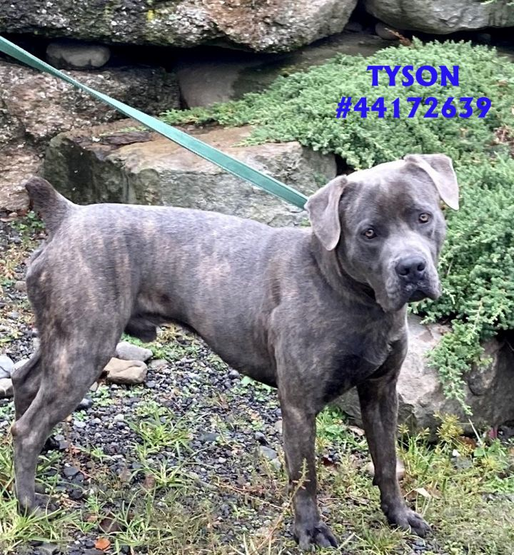 Tyson, an adoptable Mastiff Mix in Wilkes Barre, PA