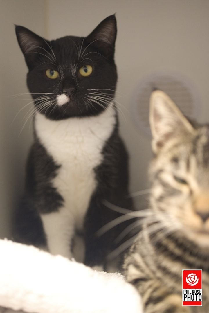 Totem and Idol, an adoptable Domestic Short Hair in Bellingham, WA