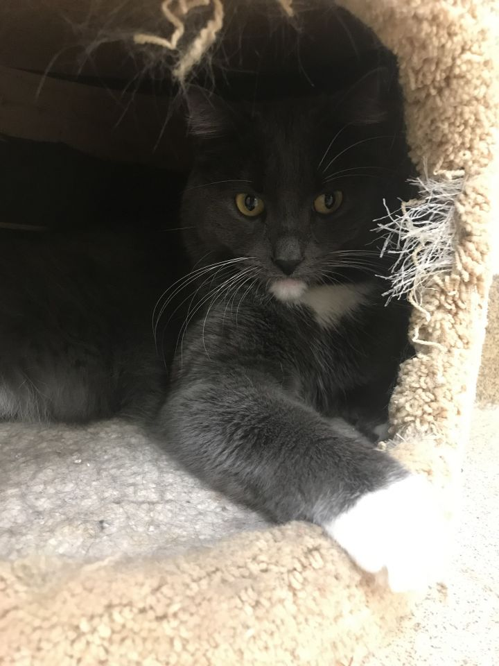 Otto, an adoptable Domestic Short Hair in Naperville, IL