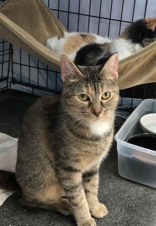 Tyne, an adoptable Tabby & Calico Mix in Monroe, MI