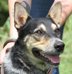 This handsome 3-year-old Australian cattle dogblue heeler mix is Wilson He wei