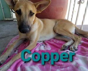 Copper German Shepherd Dog Dog