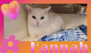 Hanna is a beautiful sweet 15 years old cat and would make a great addition to a forever home Han