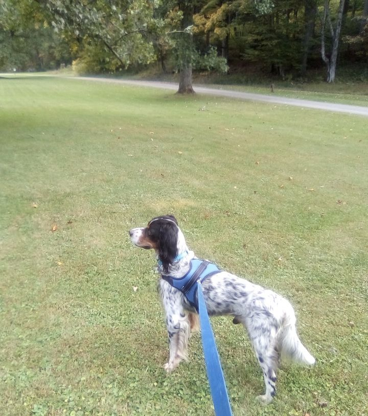 Graham, an adoptable English Setter in elkins, WV