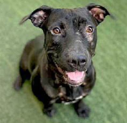 Danika, an adoptable Labrador Retriever & Pit Bull Terrier Mix in Carlsbad, CA