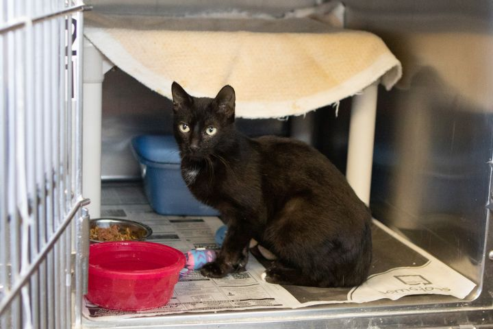 WILMA, an adoptable Domestic Short Hair in Cape Girardeau, MO
