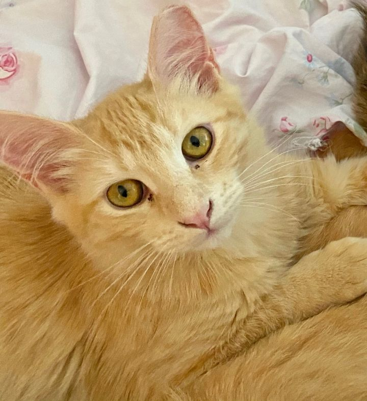 Amazing Apricot, an adoptable Tabby & Domestic Short Hair Mix in Saint Augustine, FL