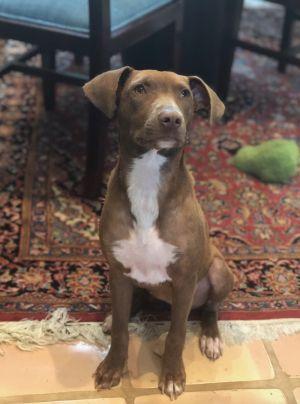 Moonpie Pit Bull Terrier Dog
