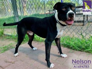 Nelson is in foster care Email BARCFosterhoustontxgov to meet him Lover of dogs and people alik
