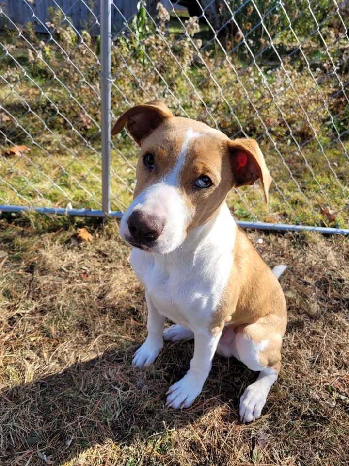 Max, an adoptable Pit Bull Terrier & Hound Mix in Brunswick, ME