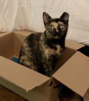 Rainbow is an adorable petite tortoise shell who loves to be near her human Sh