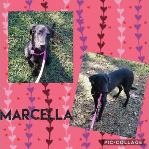Marcella is one pretty Lab all puppy at 6 months old She needs an active home